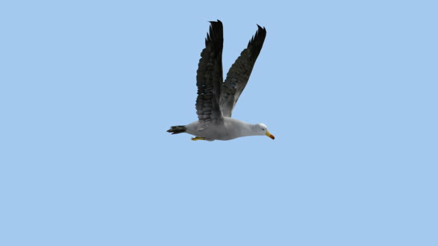 stockvideo's en b-roll-footage met one seagull in flight with alpha channel - meeuw
