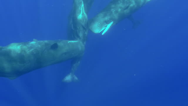 one sperm whale swims in to join a group socializing, north western coast of mauritius. - cetacea stock videos & royalty-free footage