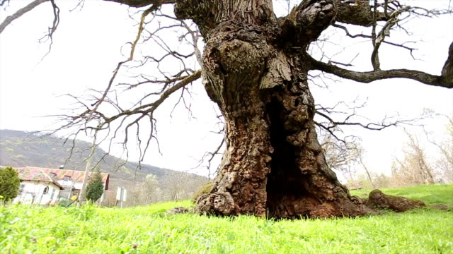 one thousand years old oak tree - hole stock videos & royalty-free footage