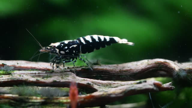 one type of dwarf shrimp, black galaxy shrimp, stay on the timber in front of green aquatic plant - aquatic organism stock videos & royalty-free footage