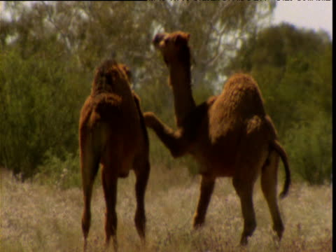 one young dromedary camel hangs its front leg over another's neck in outback, northern territory, australia - animal neck stock videos & royalty-free footage