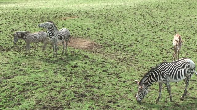 One zebra kicks another, within a group