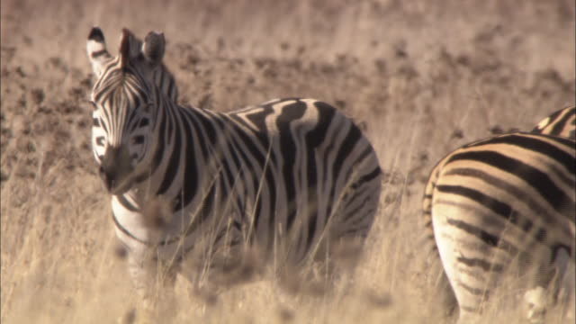 one zebra watches for danger while others graze. - alertness stock videos and b-roll footage