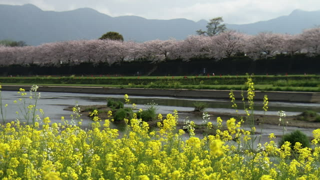 ongagawa with flowers, fukuoka, japan - fukuoka prefecture stock videos and b-roll footage