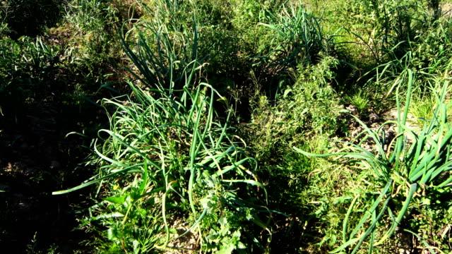 onion fields in catalonia - calçots - scallion stock videos & royalty-free footage