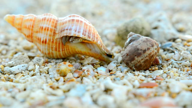 only small dirty hermit crab starts walking - hermit crab stock videos & royalty-free footage