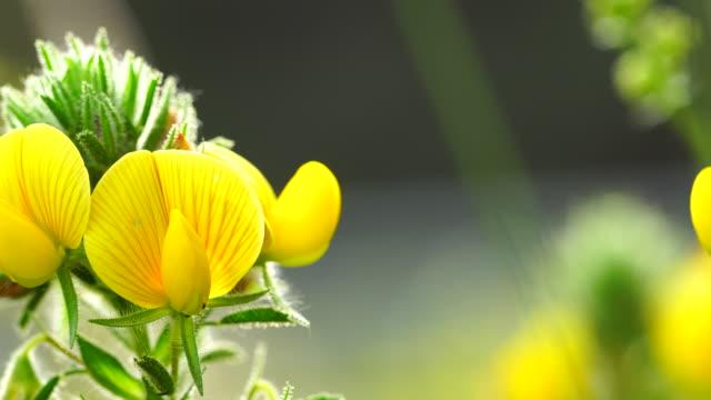 ononis natrix - estharrows 4k - harrow agricultural equipment stock videos & royalty-free footage