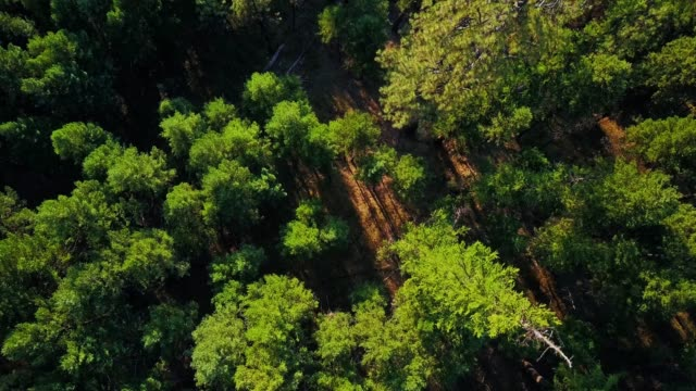 op down drone shot descending on evergreen forest in oregon - umatilla stock videos and b-roll footage