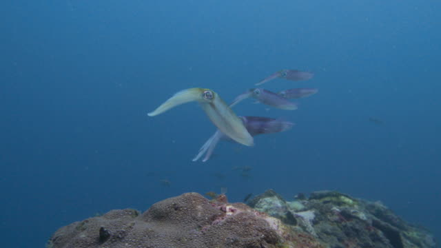 opalescent inshore squid swimming close to scuba diver - squid stock videos & royalty-free footage
