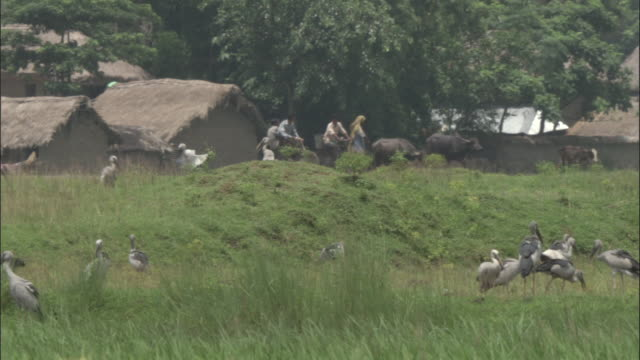 openbill storks land and congregate in a clearing near a village of thatched-roof homes. available in hd. - thatched roof stock videos & royalty-free footage