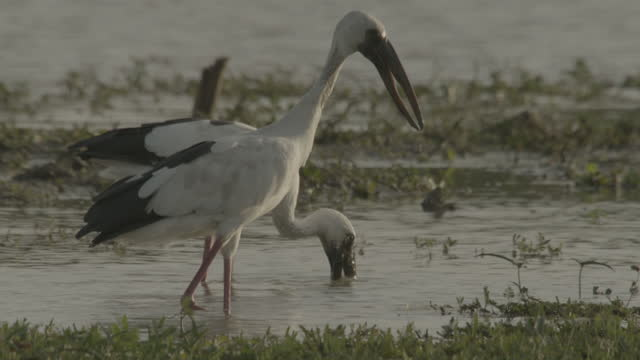 openbill storks wade and feed, sri lanka. - lake stock videos & royalty-free footage
