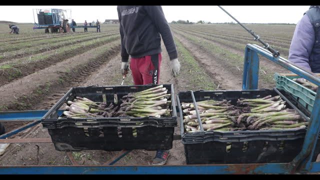 operations during asparagus harvest near ramsgate and sandwich, kent, u.k., on thursday, may 6, 2021. - human hand stock videos & royalty-free footage