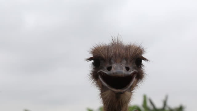 operations inside an ostrich farm as pig scourge pushes vietnamese farmers toward cows and ostriches in dong trach village vietnam on wednesday may... - animal head stock videos & royalty-free footage