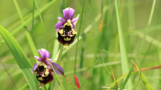 ophrys apifera - bee orchid - orchid stock videos & royalty-free footage