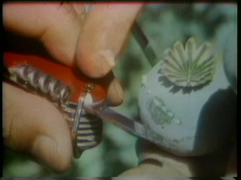 opium, from which heroin is made, oozes out of a poppy plant after it is slit open. - injecting heroin stock videos & royalty-free footage