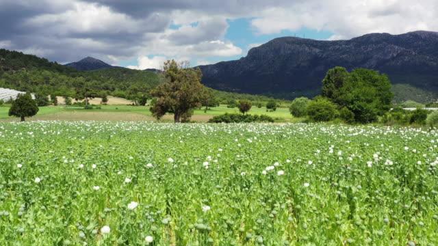 vídeos de stock e filmes b-roll de opium poppy field - pistilo