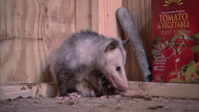 la opossum inspecting its tail before staring around warily / baton rouge, louisiana, united states - baton rouge stock-videos und b-roll-filmmaterial