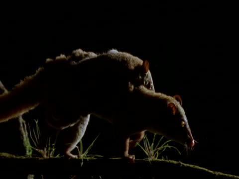mcu opossum mother with baby on back, climbing along branch, night-time, brazil - beuteltier stock-videos und b-roll-filmmaterial