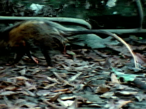 opossum walking in forest clearing, passing behind coiled bushmaster snake, bushmaster . - bushmaster snake stock videos & royalty-free footage