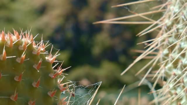 optunia columbiana cacti macro by river 2 cactus grande ronde river washington oregon 19 - ガラパゴスウチワサボテン点の映像素材/bロール