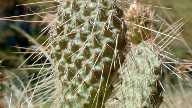 Optunia columbiana cacti macro by river 3 Cactus Grande Ronde River Washington Oregon 20