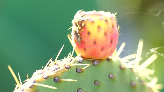 Optunia neue Blätter Makro, Obst