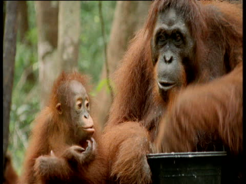 Orang utan and baby eat from bucket, Camp Leakey, Borneo