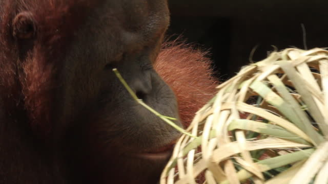 vidéos et rushes de orang utan examines wicker basket, removes cotton bud then puts it in its ear before sniffing it. - captive animals