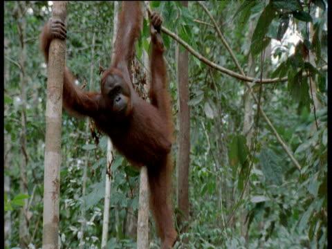 Orang utan hangs in tree, Camp Leaky, Borneo