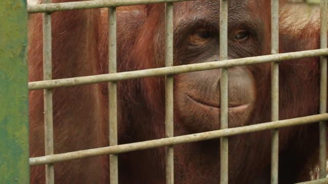 Orang utan in cage.