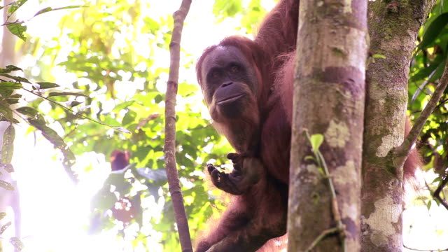 orang utan in the jungle, - kalimantan stock videos and b-roll footage