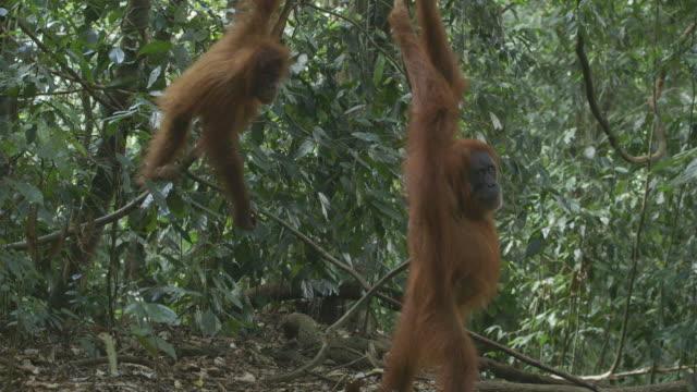 vídeos y material grabado en eventos de stock de ms orang utan mother and baby in jungle / bukit lawang, north sumatra, indonesia - isla de sumatra