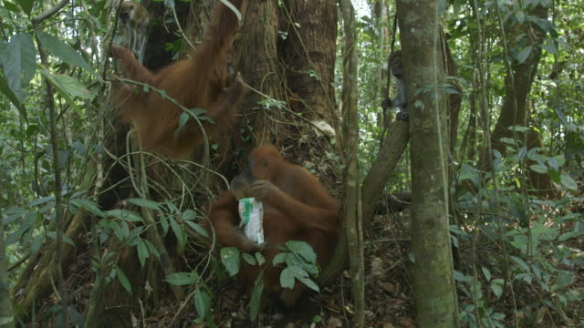 ms orang utan mother and child eating and walking / bukit lawang, north sumatra, indonesia - 四匹点の映像素材/bロール