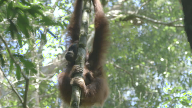 ms orang utan mother and juvenile in tree / bukit lawang, north sumatra, indonesia - pendere video stock e b–roll