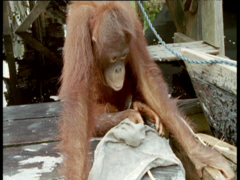 Orang utan on jetty washes towel with soap, then lathers up her leg and licks the soap off, Camp Leakey, Borneo