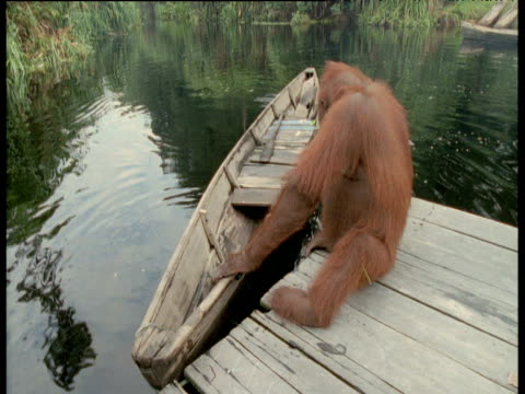 Orang utan on jetty with boat, Camp Leakey, Borneo