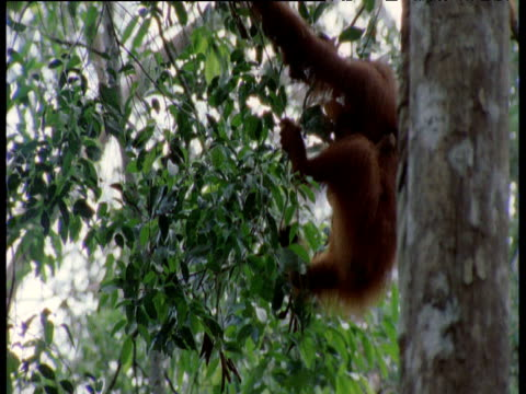 Orang utan with baby clambers between trees, Camp Leaky, Borneo