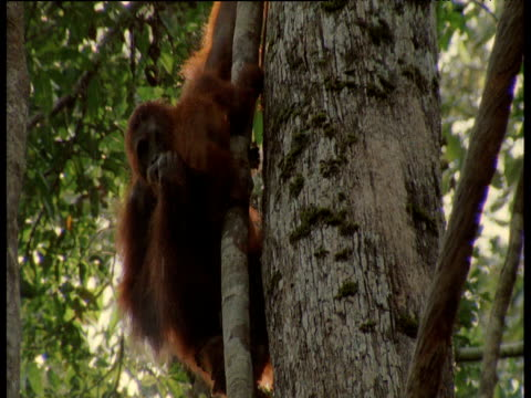 Orang utans in tree in rain, Camp Leakey, Borneo