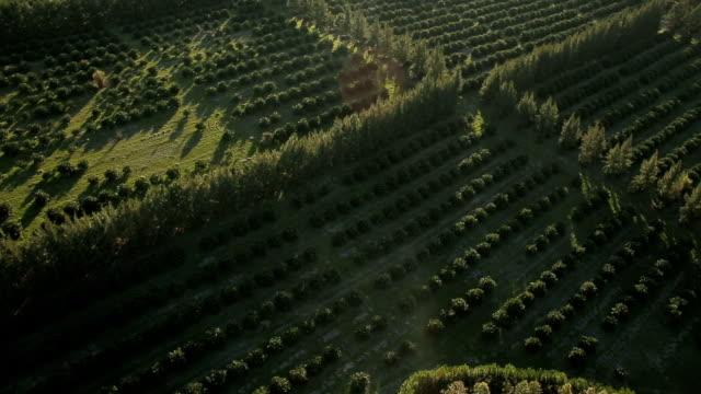 シナ aérea ・ デ ・ カンポス ・ デ ・育種 de laranja - オレンジ果樹園点の映像素材/bロール
