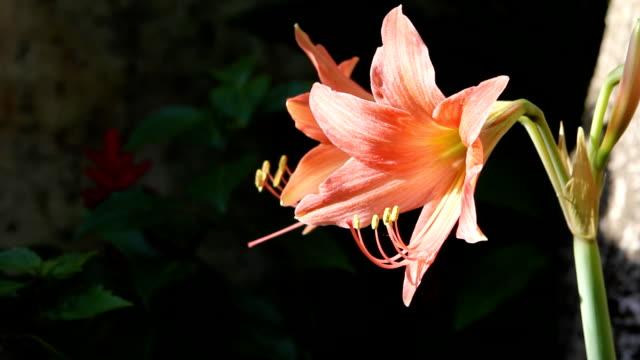 orange amaryllis - amaryllis stock videos & royalty-free footage