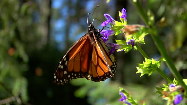 orange and black monarch butterfly (siproeta epaphus) standing on a purple flower - farfalla video stock e b–roll
