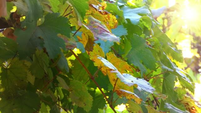 vídeos y material grabado en eventos de stock de naranja y verde hojas de uva - hoja de la vid