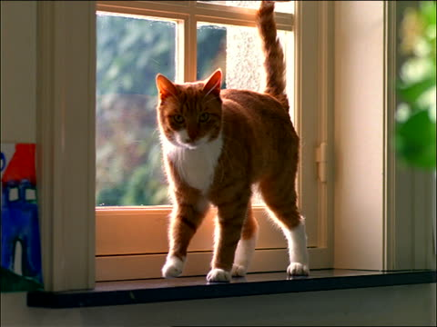 Orange and white cat jumping down from windowsill