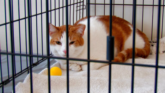 Orange and White Tabby Cat Locked in a Cage