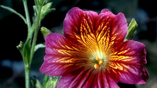 vídeos de stock, filmes e b-roll de cu t/l  orange and yellow flower blooming  / studio city, california, usa - padrão natural