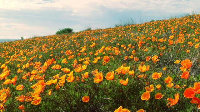 orange and yellow poppies cover a field. - poppy plant stock videos and b-roll footage