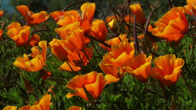 orange and yellow poppies move in the breeze. - orange color stock videos & royalty-free footage