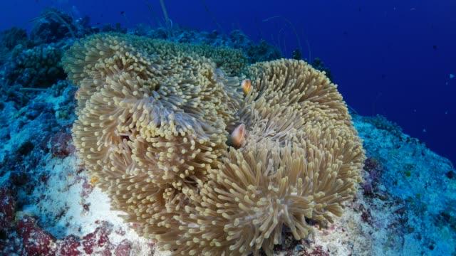 orange anemonefish and sea anemone, symbiotic relationship - symbiotic relationship stock videos & royalty-free footage