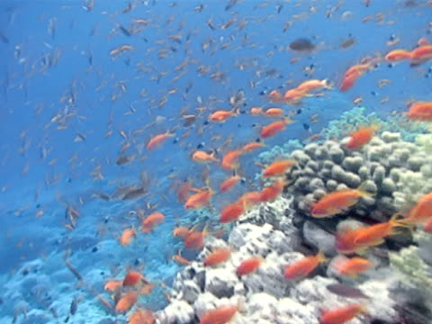 orange anthias fish amp other small fish swimming along side amp over of coral reef ws cluster of slender fish swimming fg many of various size bg ws... - anthias fish stock videos & royalty-free footage