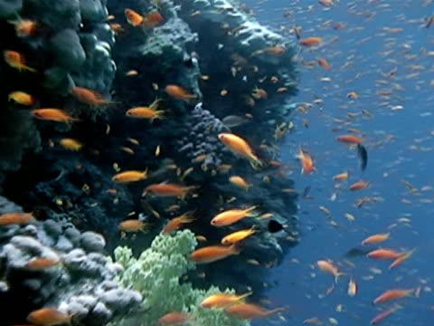 Orange Anthias fish swimming along side of reef TU Reef